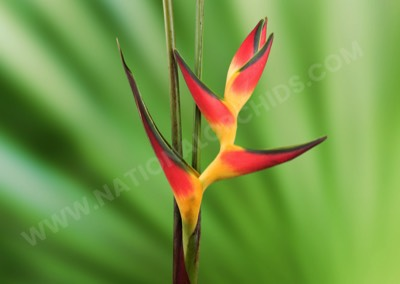 Heliconia Fire Cracker