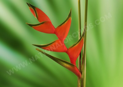 Heliconia Lobster Orange Large