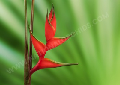 Heliconia Lobster Orange