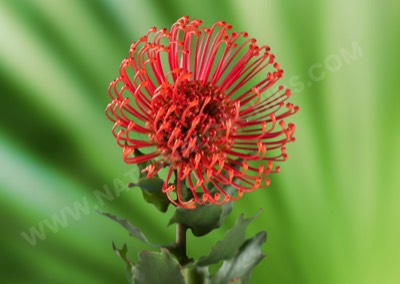 Protea Pin Cushion Red