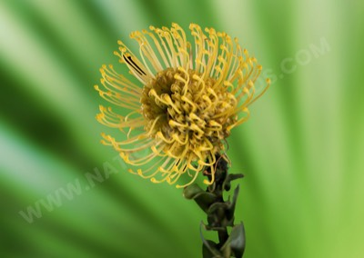 Protea Pin Cushion Yellow